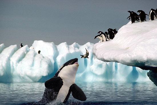 Penguin vs Orca