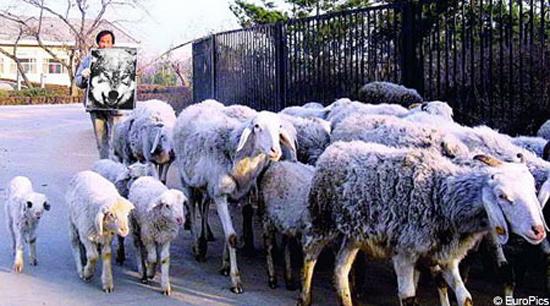 Τσοπάνης ελέγχει τα πρόβατά του με μια φωτογραφία λύκου
