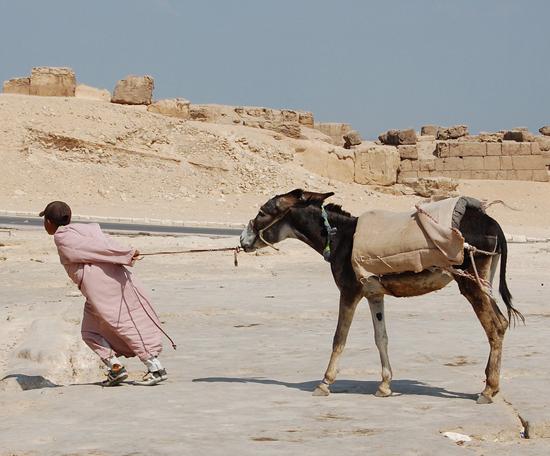 Γαϊδούρι στην Αίγυπτο