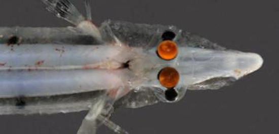 Ψάρι με μάτια καθρέφτες