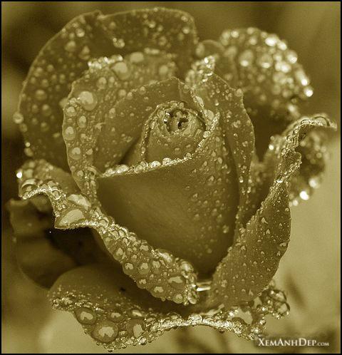 Σταγόνες σε λουλούδια