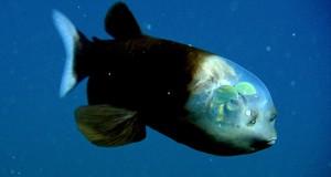 Ψάρι με διάφανο κεφάλι