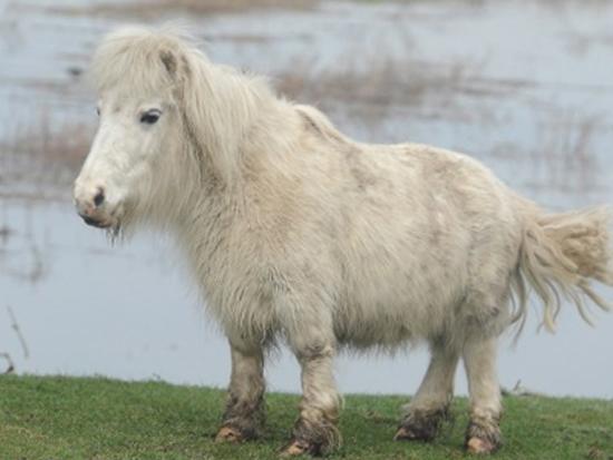 Άλογο με κοντά πόδια