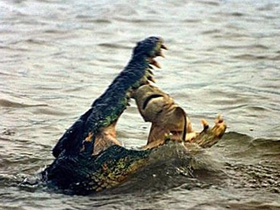 Κροκόδειλος έφαγε καρχαρία