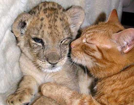 Λιοντάρι- Γάτα