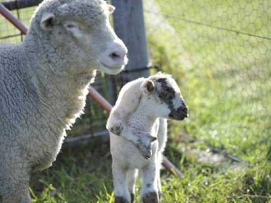 Προβατάκι γεννήθηκε με 5ο πόδι στο κεφάλι