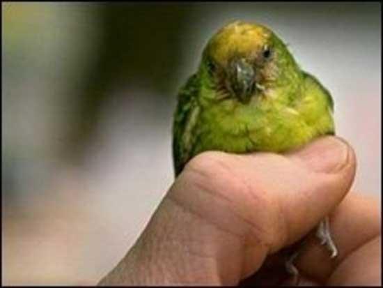 Ο μικρότερος παπαγάλος του κόσμου