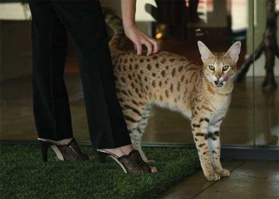 Η πιο ψηλή γάτα στον κόσμο