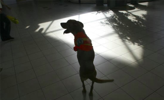 Ανάπηρος σκύλος περπατάει στα 2 πόδια