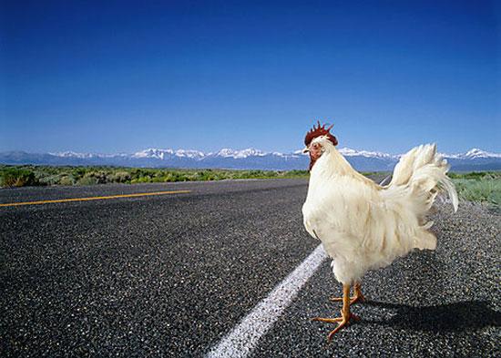 Γιατί το κοτόπουλο διέσχισε το δρόμο;