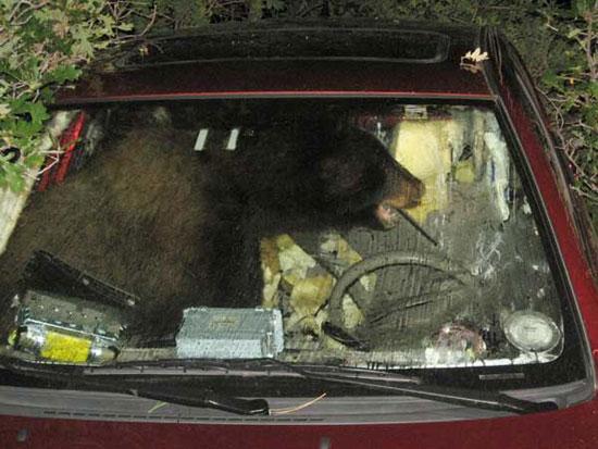 Αρκούδα έκλεψε και κατέστρεψε αυτοκίνητο