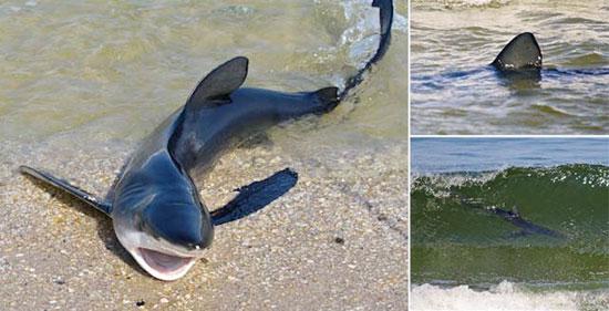 Καρχαρίας βγήκε στη στεριά
