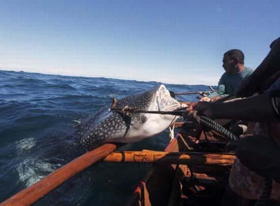 Κυνήγι φαλαινών στην Ινδονησία (13)