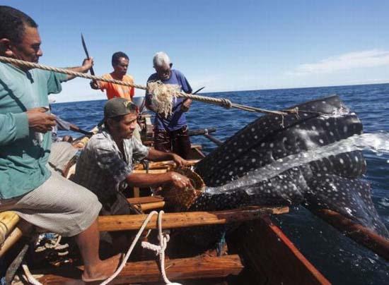 Κυνήγι φαλαινών στην Ινδονησία (15)