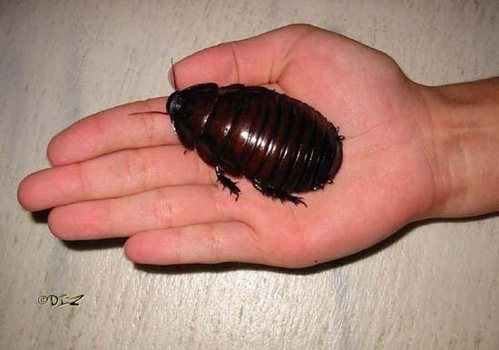 Τα 16 μεγαλύτερα έντομα στον κόσμο (5)