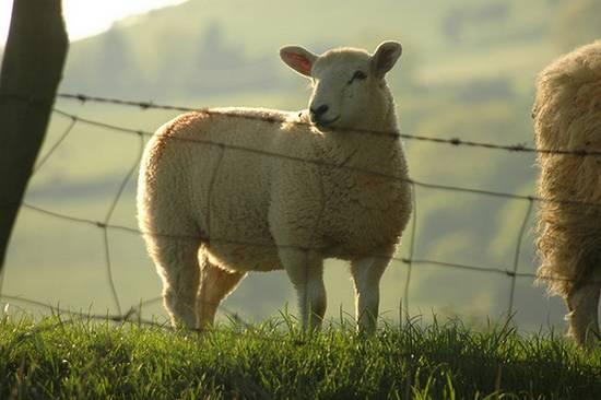 προβατα (18)
