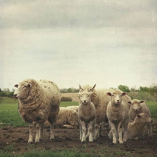 προβατα (16)