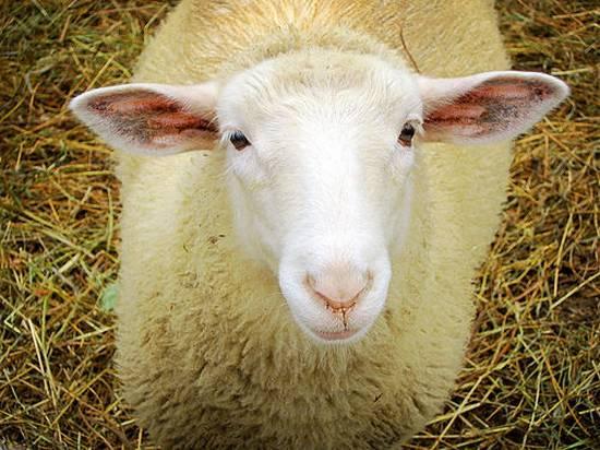 προβατα (15)