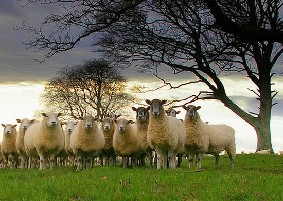 προβατα (12)