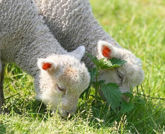 προβατα (11)