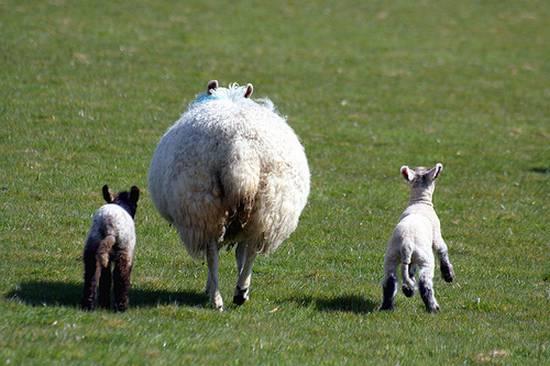 προβατα (10)
