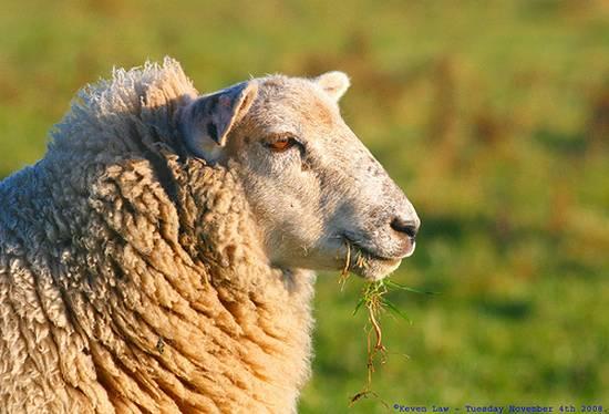 προβατα (9)