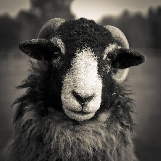 προβατα (7)