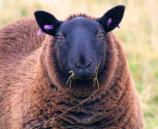 προβατα (5)