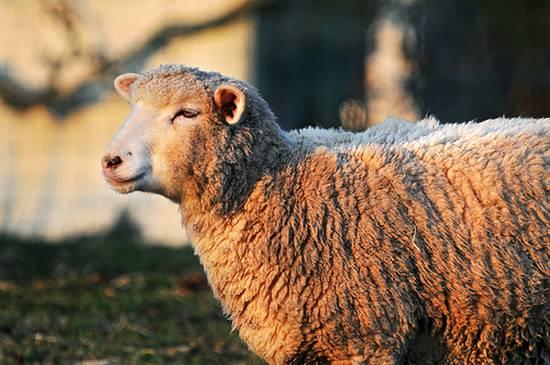προβατα (4)