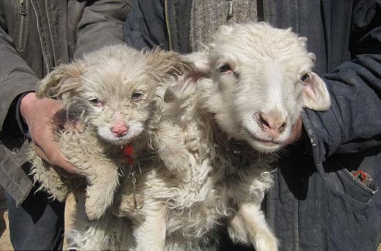 Πρόβατο γέννησε σκύλο