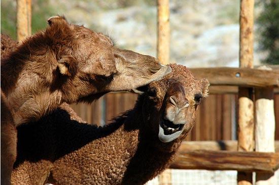 Καμήλες (10)