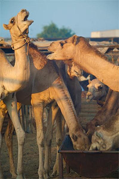 Καμήλες (11)