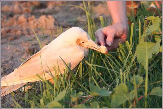 Έχετε δει ποτέ λευκό κοράκι; (2)