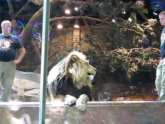 Λιοντάρι επιτίθεται στον εκπαιδευτή του