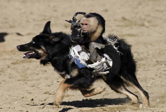 Μαϊμούδες καβαλάνε σκύλους (1)