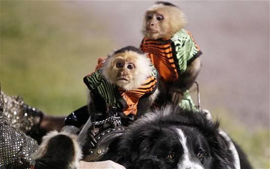 Μαϊμούδες καβαλάνε σκύλους (11)