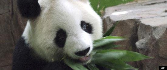Το γηραιότερο Panda έφυγε για... πάντα