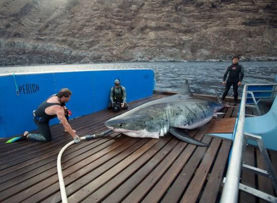 Φωτογραφία της ημέρας: Ο μεγαλύτερος λευκός καρχαρίας