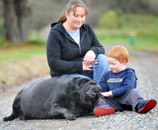 Φωτογραφία της ημέρας: Labrador 85 κιλών!