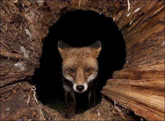 Πονηρή η αλεπού, αλλά πιο πονηρός ο φωτογράφος (2)