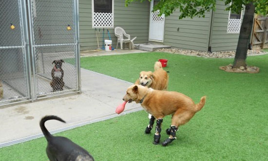 Ο πρώτος σκύλος με 4 προσθετικά πόδια