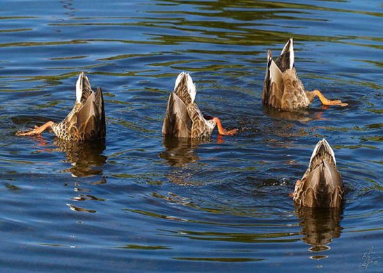 Συγχρονισμένη κολύμβηση... ζώων! (2)