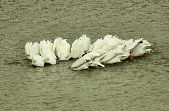 Συγχρονισμένη κολύμβηση... ζώων! (3)