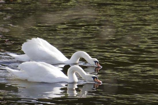Συγχρονισμένη κολύμβηση... ζώων! (4)