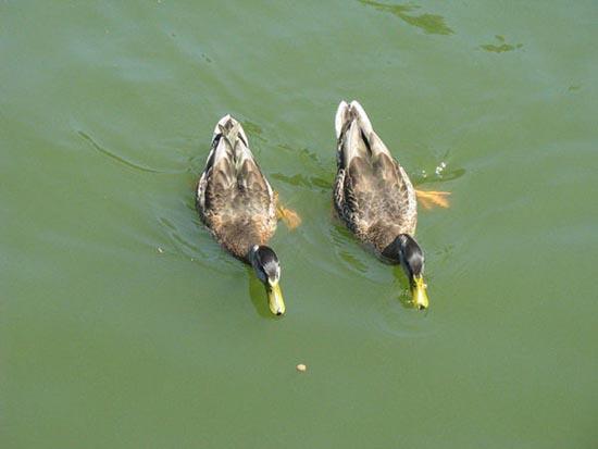 Συγχρονισμένη κολύμβηση... ζώων! (6)