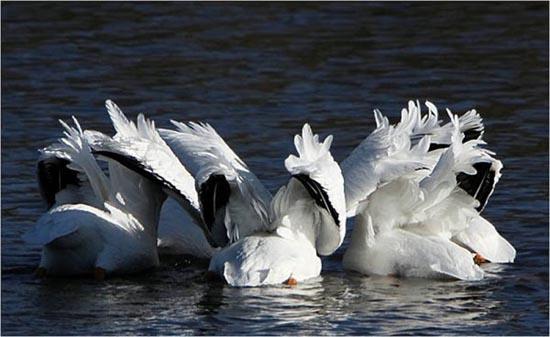 Συγχρονισμένη κολύμβηση... ζώων! (13)