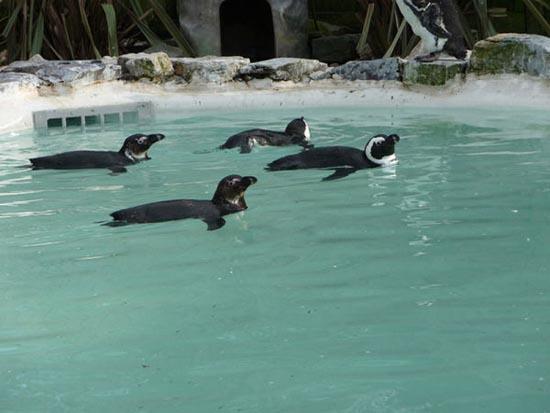 Συγχρονισμένη κολύμβηση... ζώων! (17)