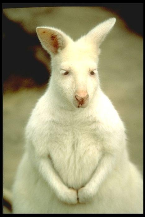 Ζώα αλμπίνοι (8)