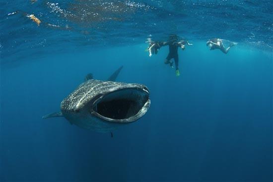 Φαλαινοκαρχαρίας παραλίγο να καταπιεί δύτη (3)