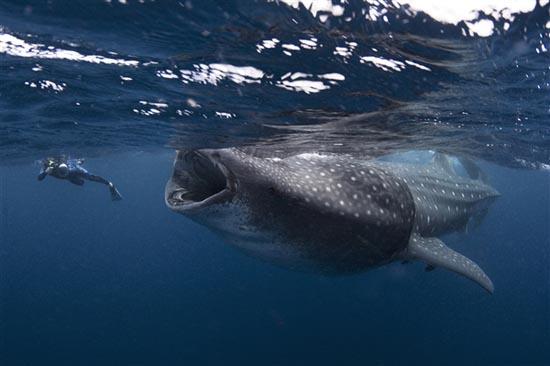 Φαλαινοκαρχαρίας παραλίγο να καταπιεί δύτη (1)